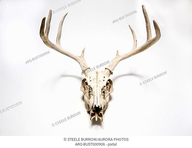Deer skull hanging on white wall, Colorado, USA