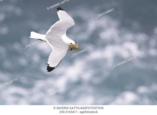 Black-legged Kittiwake (Rissa tridactyla), adult in flight carrying material for the nest