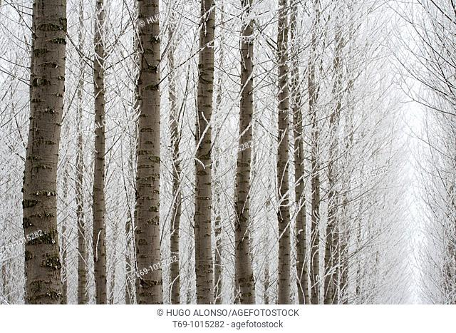 Frost over the trees