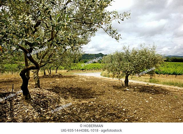 Olive Trees and Vineyard, Nyons, France