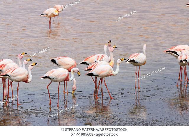 Flamingos, Laguna Colorada, Salt Flat Tours, Altiplano, Southwest Bolivia