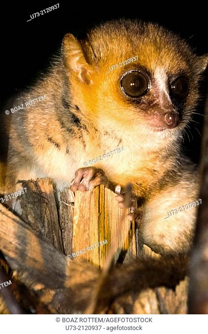 A nocturnal Mouse Lemur in Adasibe forest in Eastern Madagascar
