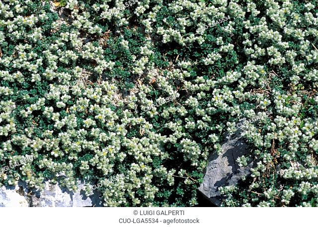 Paronychia Kapela, Italy