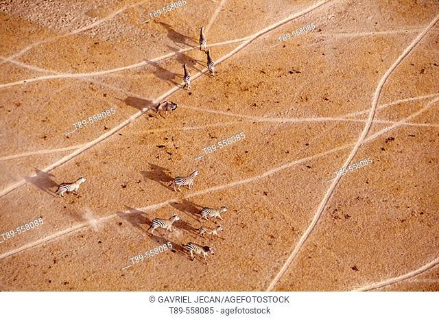 Africa, Kenya, Amboseli NP, Grant's zebra (Equus burchelli boehmi)