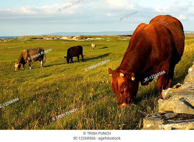Bull and cows on Inishmore island, largest of the Aran islands, off the Galway coast on the Wild Atlantic Way; County Galway, Ireland