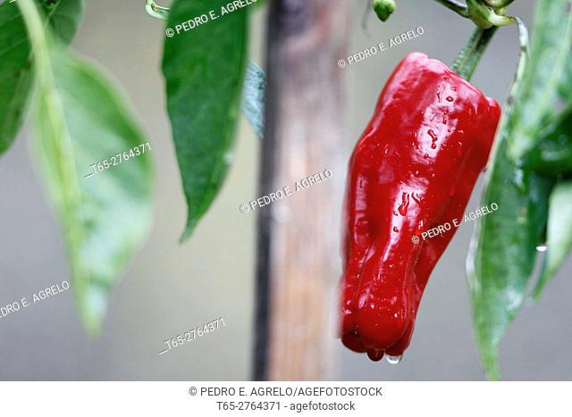 The pepper is one of the vegetables most commonly used when essential cocinar.Ingrediente of many dishes, peppers come in a variety of forms, colors and sizes