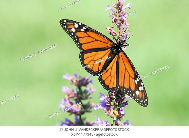 Monarch Butterfly, Danaus plexippus, with wings spread feeding at a butterfly bush  The butterfly is a male as evidenced by the black spot on the vein of its...