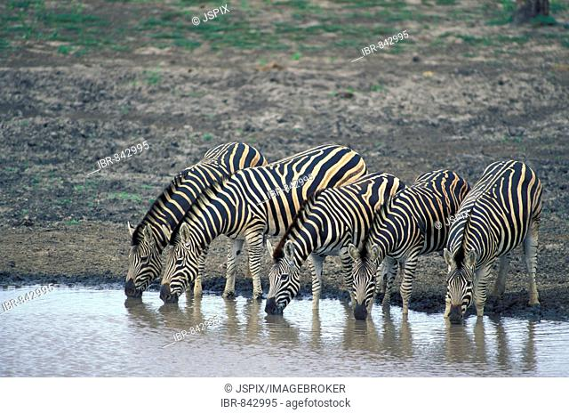 Chapman's Zebra (Equus burchelli antiquorum), Adult herd drinking water, Kruger National Park, South Africa, Africa