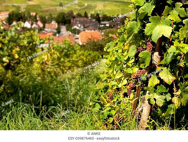 Blurred Alsace village in France with foreground vines and grapes