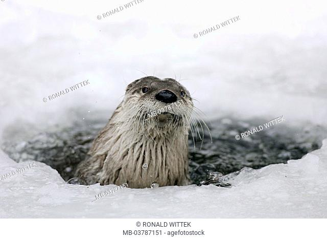 Brook, frozen over, hole, otters,  Lutra lutra, portrait,  Series, animal portrait, nature, river, water, ice, Eisloch, fauna, Wildlife, animal, wild animal