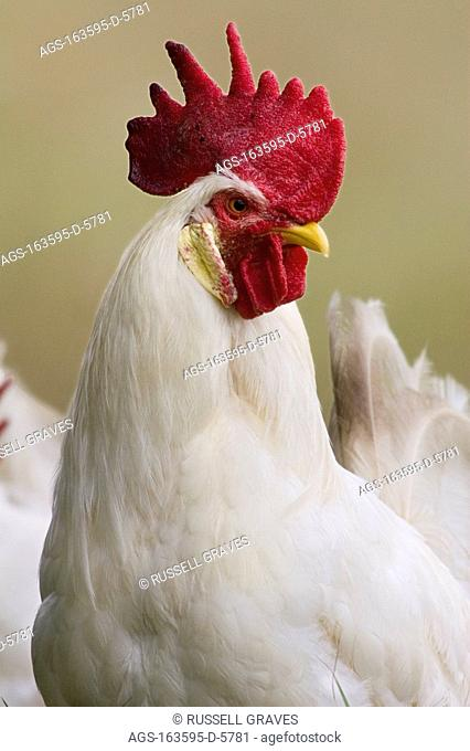 Livestock - Closeup of a white Leghorn rooster / TX - Childress