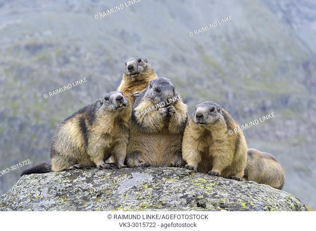 Alpine Marmot, Marmota marmota, group of animals, Hohe Tauern National park, Austria