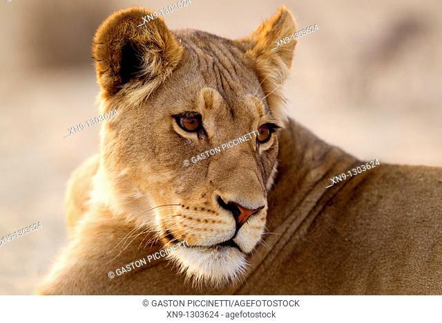 African Lion Panthera leo - Female, Kgalagadi Transfrontier Park, Kalahari desert, South Africa
