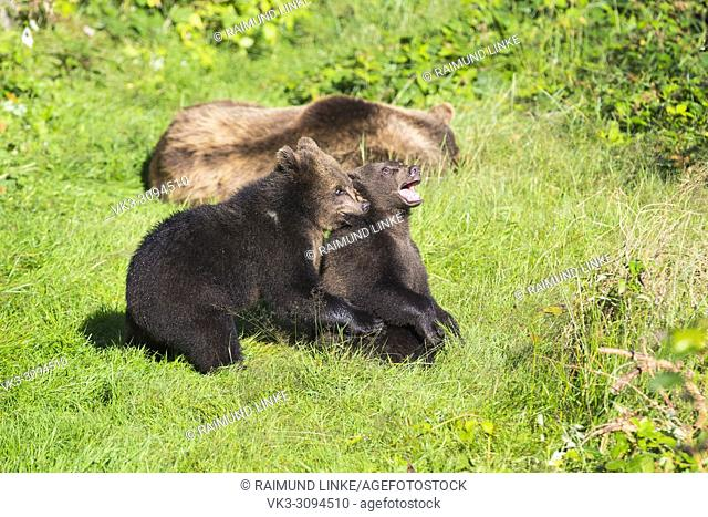European Brown Bears, Ursus arctos, Two cubs playing on meadow, Bavaria, Germany