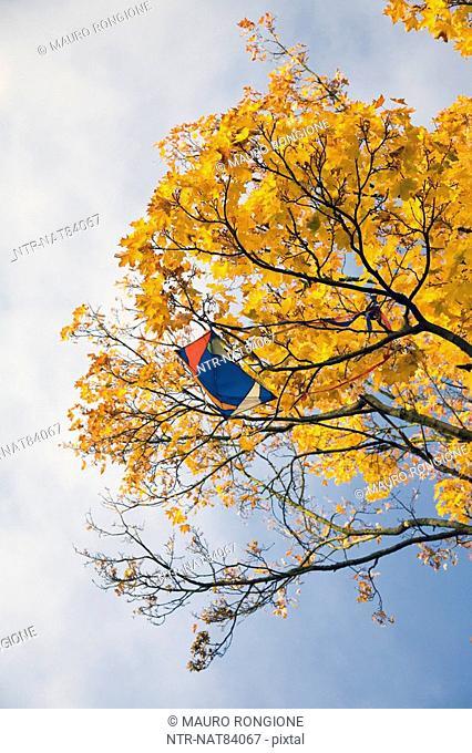 Kite stuck in an autumnal tree, Sweden