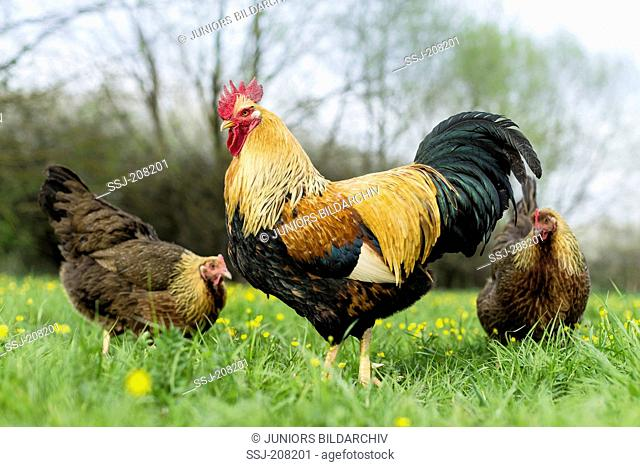 Welsummer Chicken. Cock and hens foraging on a meadow, Germany