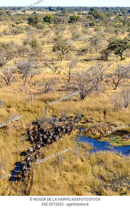 Aerial view of African buffalo or Cape buffalo (Syncerus caffer). Okavango Delta. Botswana