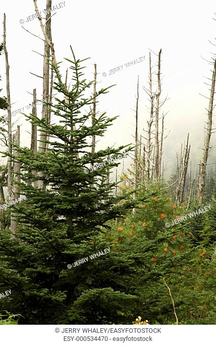 Dead Fraser Firs, American Mountain-Ash, Clingmans Dome, Great Smoky Mtns NP