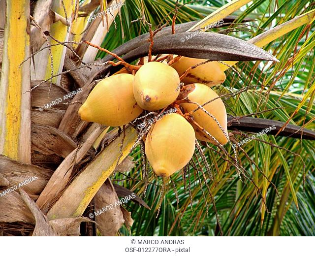 coconut cocoa tree palm plant with fruits