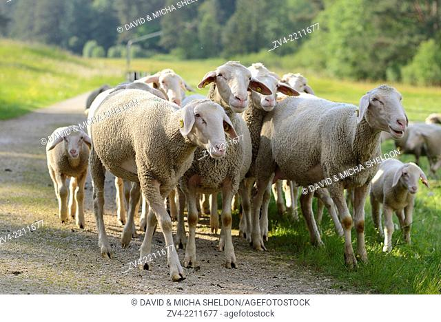 Landscape of a Sheep flock (Ovis aries) in a valley in spring, Upper Palatinate, Germany