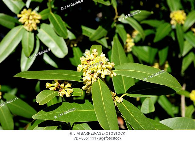 California bay laurel (Umbellularia californica) is an evergreen tree endemic to California and south Oregon. Flowers detail