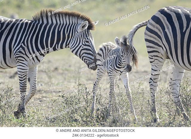 Plains zebra (Equus quagga) foal stuck between mother and family on savanna, Kruger National Park, South Africa