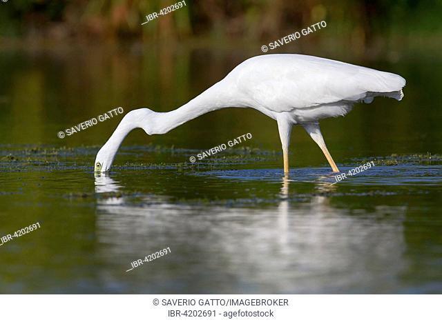 Western Great Egret (Ardea alba), fishing, Campania, Italy