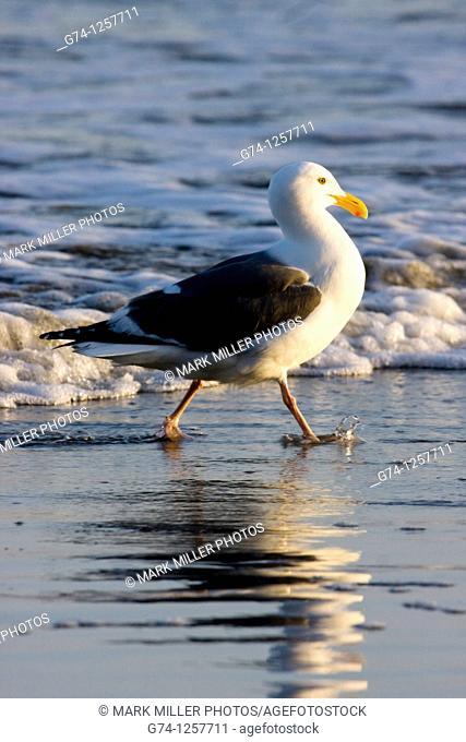 California Gull on Beach