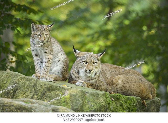 Eurasian Lynx, Lynx lynx, Female with Kitten, Germany, Europe