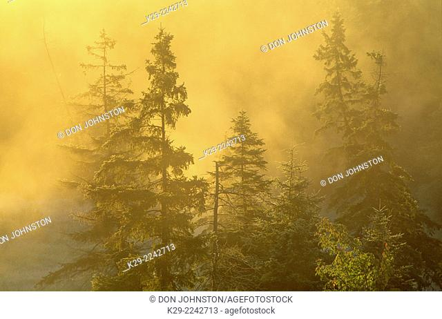 Morning mists around cedars and spruces near a river, Greater Sudbury, Ontario, Canada