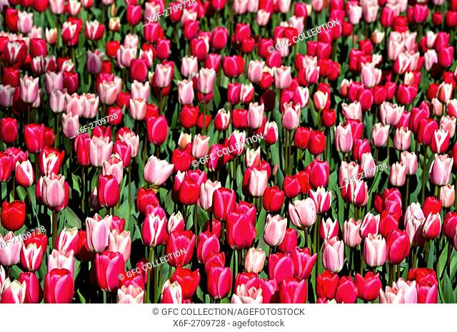 Red Dutch tulips, Tulipa, Lisse near Leiden, Netherlands