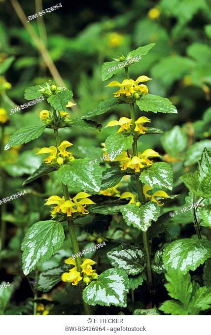 Yellow Archangel (Lamium argentatum. Galeobdolon luteum fo. argentatum), blooming, Germany