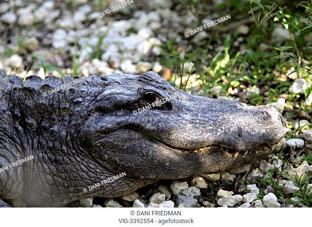 UNITED STATES OF AMERICA, HOMESTEAD, 20.08.2012, An American alligator (Alligator mississippiensis) at an alligator farm near the Florida Everglades