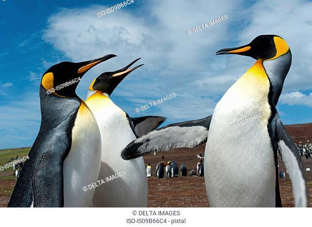 King penguins (Aptenodytes patagonica), fighting, Port Stanley, Falkland Islands, South America