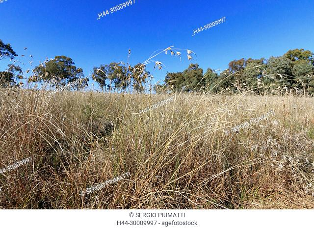 Australia, NSW, New South Wales, Poaceae, Themeda triandra, field, kangaroo grass, perennial, tussock-forming grass