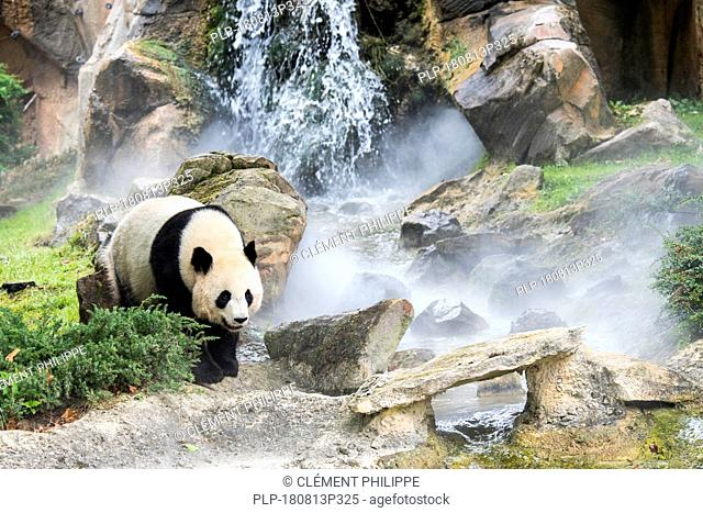 Giant panda (Ailuropoda melanoleuca) in front of waterfall in the mist, ZooParc de Beauval, France