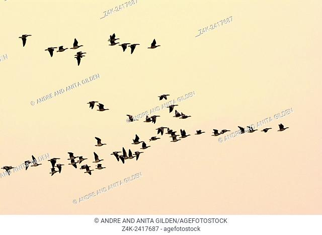 Brent Geese (Branta bernicla) flock in flight at dusk