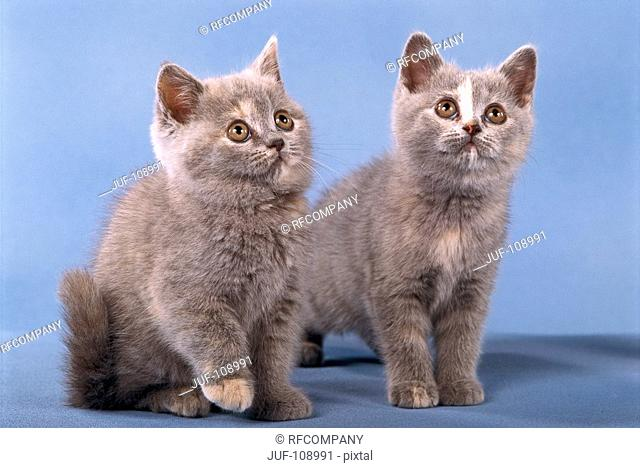 two British Shorthair kittens - sitting