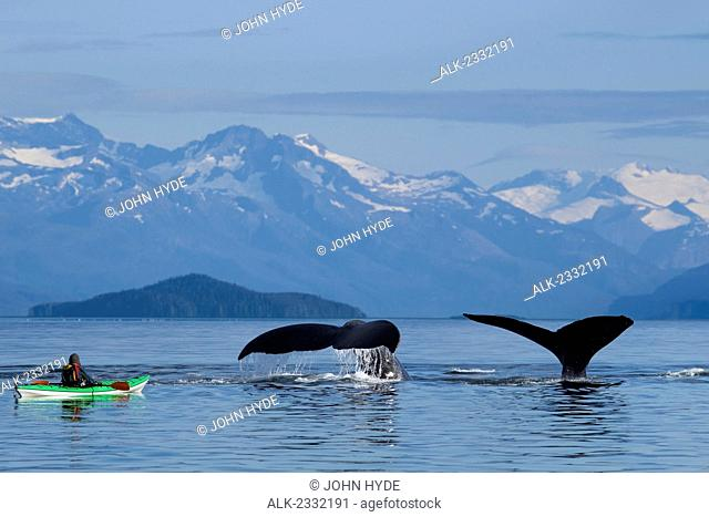 A sea kayaker watches as a group of Humpback whales lift their flukes, returning to the bountiful waters of SE Alaska's Stephens Passage
