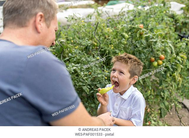 Portrait of little boy eating pointed pepper while his father watching him