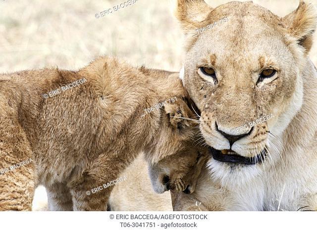 African Lion (Panthera leo) cub greeting female, Masai Mara National Reserve, Kenya, Africa