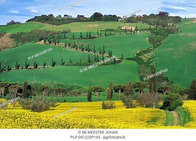 Cypress trees Cupressus sempervirens along fields at Monticciello, Tuscany, Italy