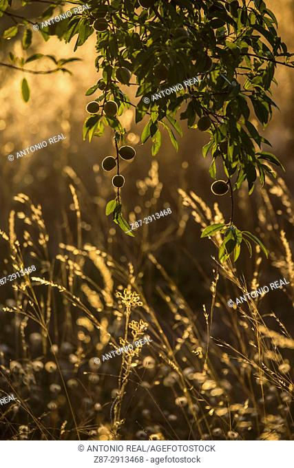 Wild plants in the evening, Almansa, Albacete, Castile-La Mancha, Spain