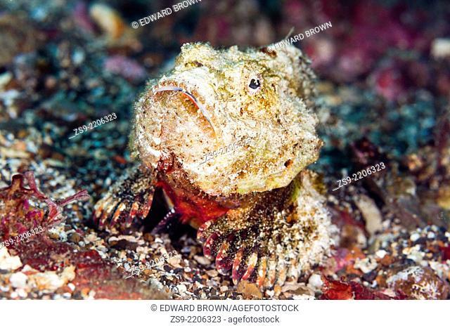 Humpback scorpionfish (Scorpaenopsis diabolus) Lembeh Strait, Indonesia