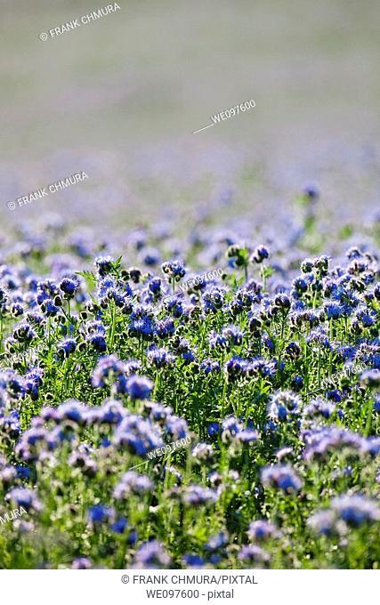 field of phacelia tanacetifolia