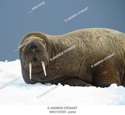 Walrus Odobenus rosmarus Longyearbyen, Far Northern Ice Sheets, Svalbard, Norway
