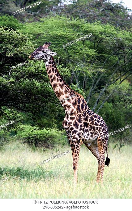 Giraffe (Giraffa camelopardalis). Lake Ndutu, Serengeti, Tanzania, Africa