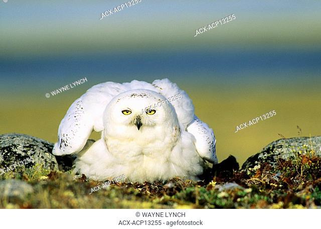 Incubating adult female snowy owl Bubo scandiaca, Arctic Canada