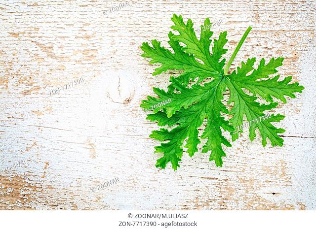 single fresh leaf of citronella (mosquito plant, scented geranium) on a white painted weathered barn wood background