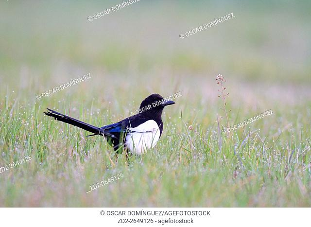 Common Magpie (Pica pica) on the ground. Lleida province. Catalonia. Spain